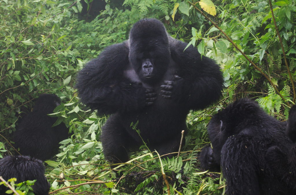 20160414_Rwanda_gorillatrek_RumbleInTheJungle