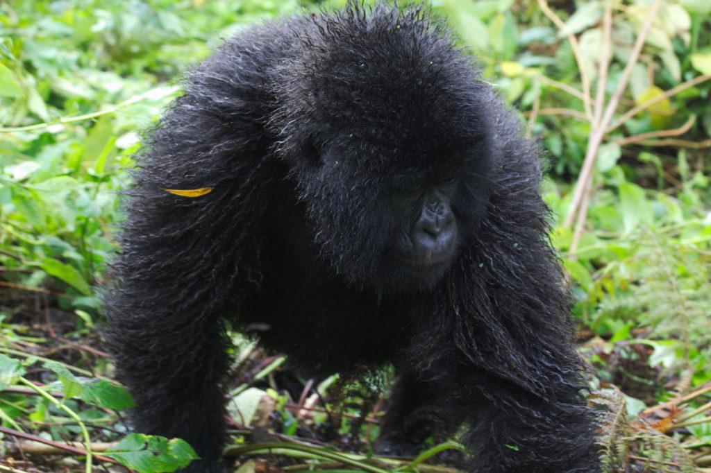 20160414_Rwanda_gorillatrek_youngGorillaWalkingBy