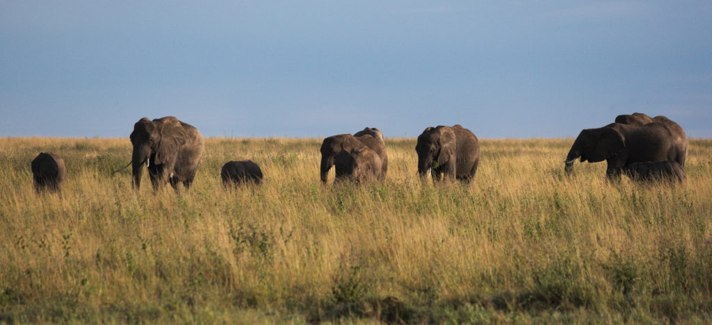 Herd of elephants trekking over the Serengeti in the morning.
