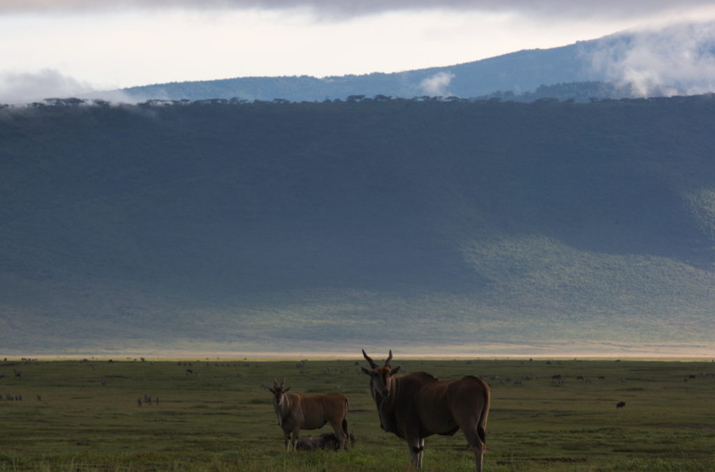 Common elands with the crater rim in the background.
